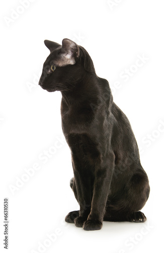 Canvas Prints Panther oriental black cat isolated over white background