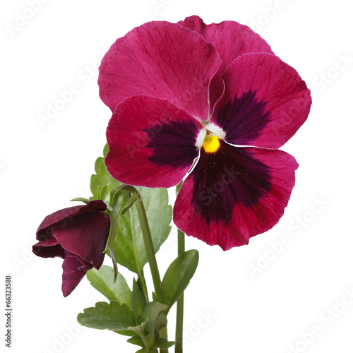 Papiers peints Pansies red beautiful flower pansy with a bud isolated