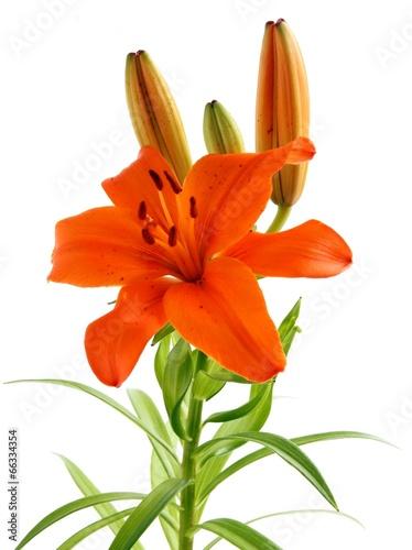 In de dag Narcis orange lily close up