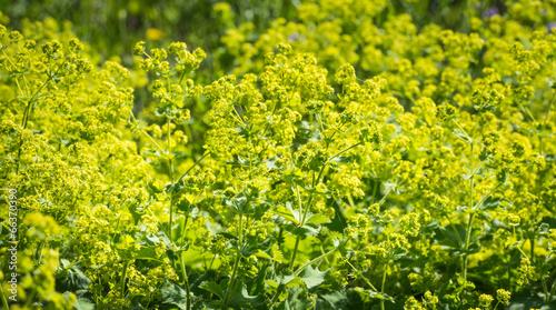 Fotografia Budding and flowering Alchemilla Mollis plants