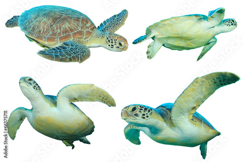 Poster Tortue Sea Turtles isolated on white
