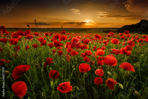 Foto op Canvas Poppy Poppy field at sunset