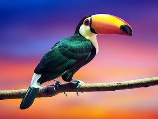 Toco Toucan against sunset sky