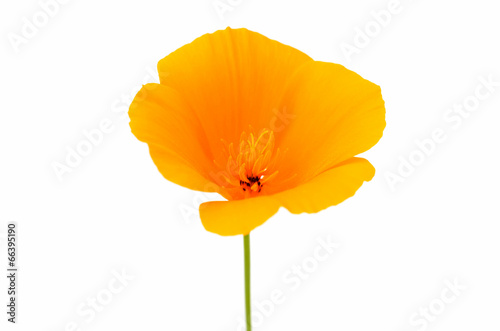 Fotografie, Obraz  Eschscholzia californica flower