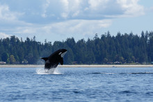 Jumping Orca Whale Or Killer W...