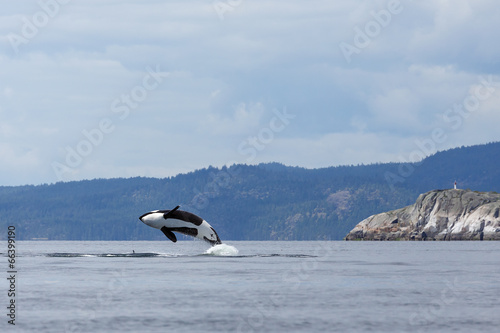 Fotografie, Obraz  Jumping orca whale or killer whale