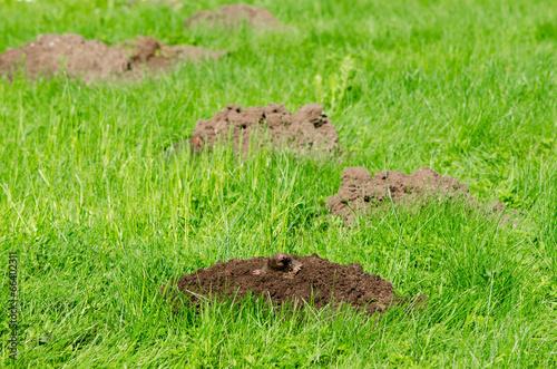 Fotografie, Obraz  Mole hills on lawn grass and animal head in soil