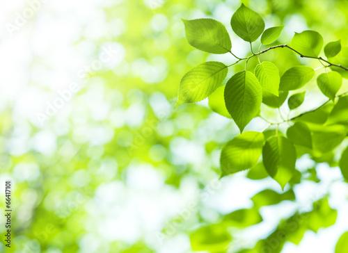 Láminas  葉