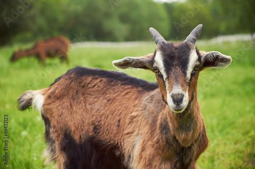 Fotografía Goat