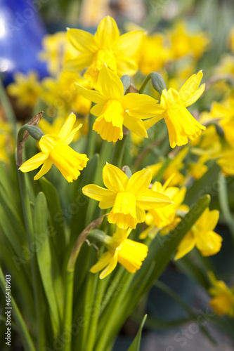 Deurstickers Narcis Yellow daffodils - narcissus flowers