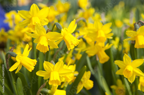 Ingelijste posters Narcis Field of yellow daffodils - narcissus flowers
