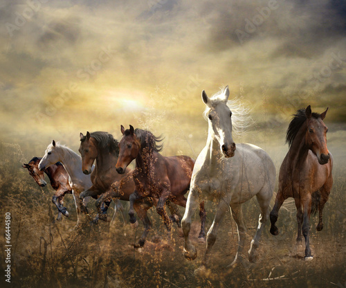 Fototapeta herd of horses galloping free at sunset obraz