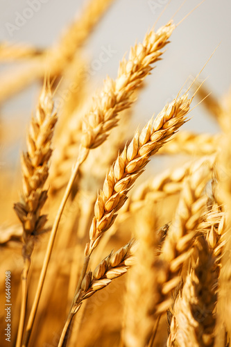Fotomural wheat field