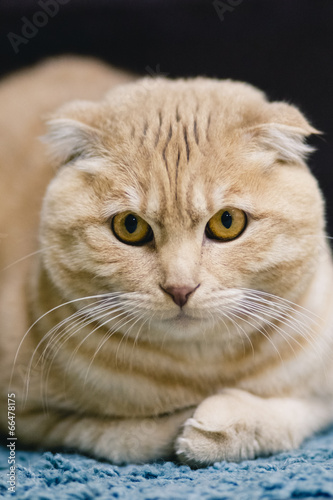 Fototapety, obrazy: Cat portrait