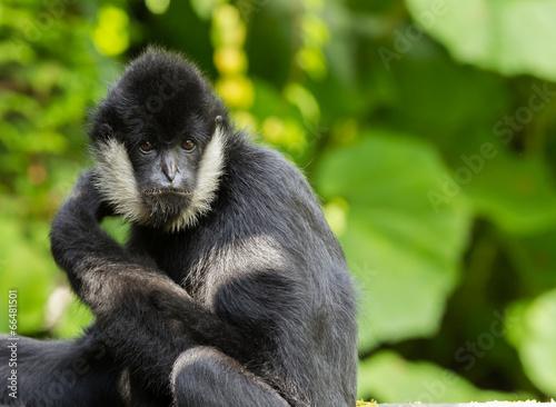 фотография Northern white-cheeked gibbon  portrait