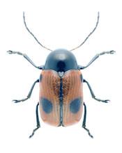 Beetle Cryptocephalus Bipunctatus