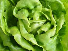 Fresh Butter Head Lettuce Background
