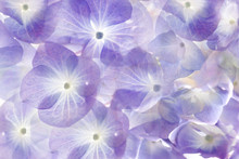Floral Background.Soft Purple Hydrangea.