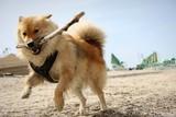 Pies z kijem
