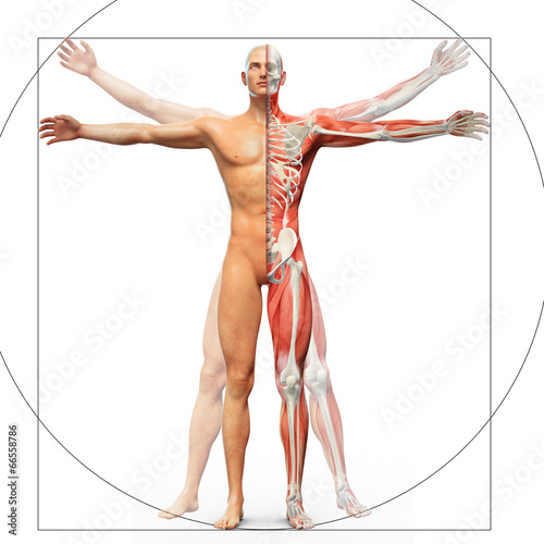Fotografija Human anatomy displayed as the vitruvian man