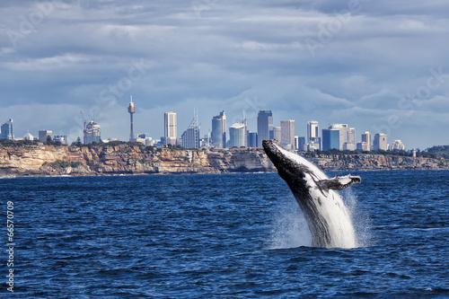 Staande foto Sydney Breaching Humpback Whale and Sydney skyline