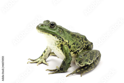 Foto op Plexiglas Kikker spotted dark green frog on a white background