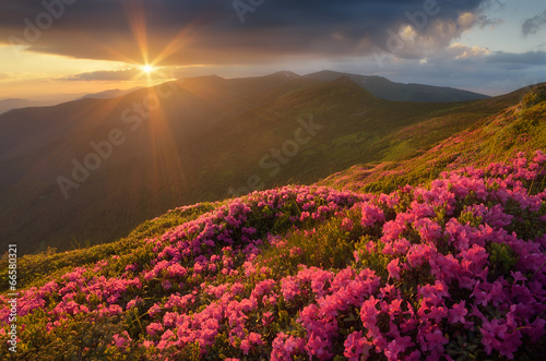 Rhododendron flowers in the mountains