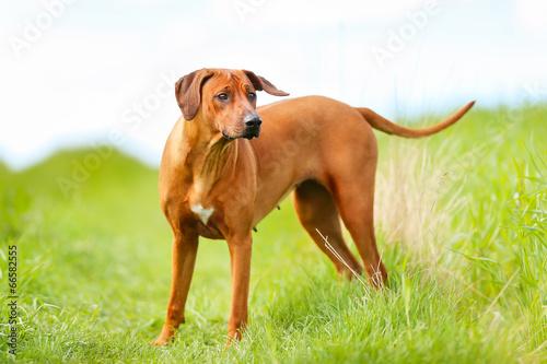 Rhodesian rigdeback dog