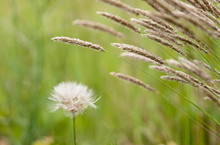Withered Blowball Beside A Flowering Grass