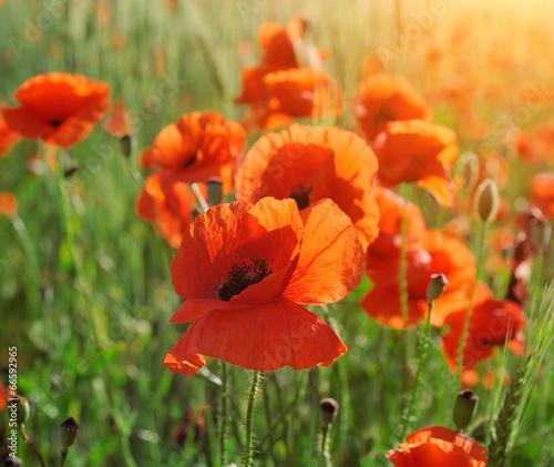 Poster Poppy Wild poppy flower