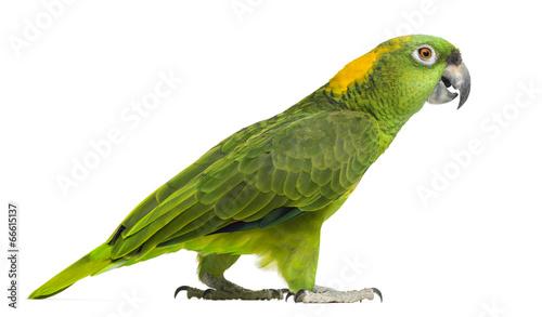 Fond de hotte en verre imprimé Perroquets Side view of a Yellow-naped parrot walking (6 years old)