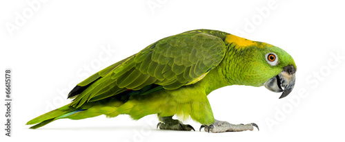 Valokuva Side view of a Yellow-naped parrot walking (6 years old)