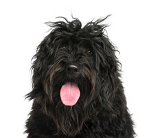 Close-up Of A Portuguese Water Dog