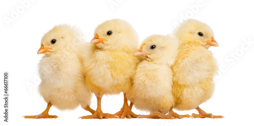 Obraz Four Chicks in a row (8 days old), isolated on white - fototapety do salonu