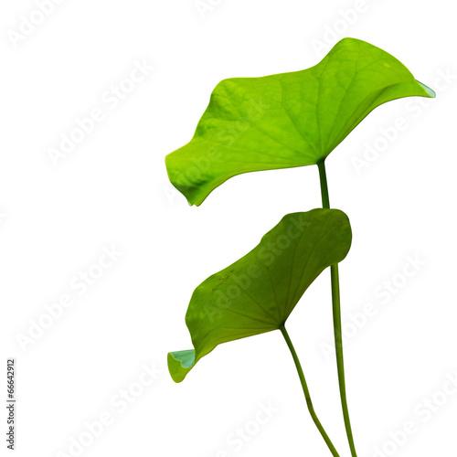 Garden Poster Lotus flower Lotus leaf