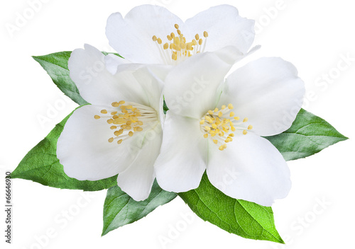 Blooming jasmine flower with leaves. File contains clipping path Poster Mural XXL