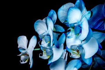 Fototapeta niebieska orchidea