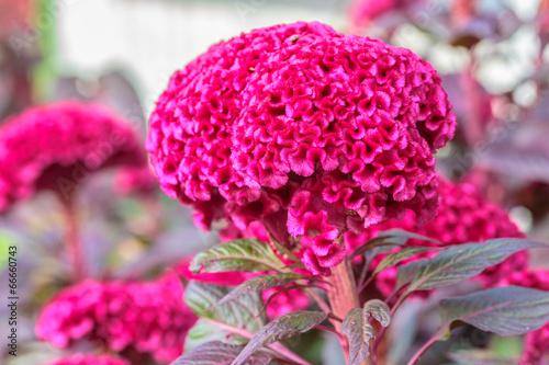 Fotografie, Obraz  pink-red Cockscomb in the garden flower  design curve