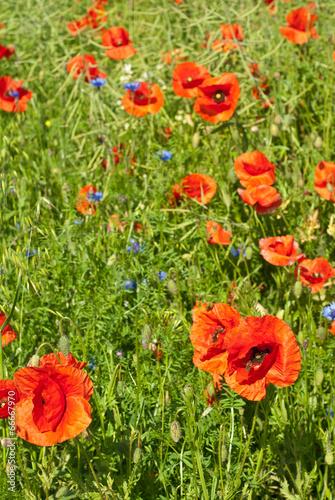 Fototapeta Poppies flowers obraz na płótnie