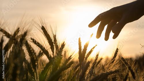 Photo  Hand of a farmer touching wheat field