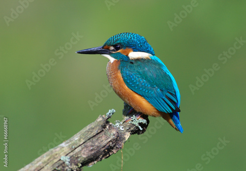 Poster Vogel Kingfisher on a branch 3