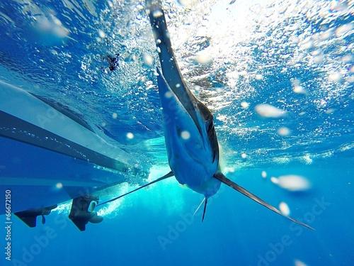 Photo  White Marlin