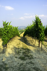 Fototapeta na wymiar Oltrepo Pavese vineyards. Color image