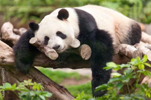 Großer Panda Fototapet