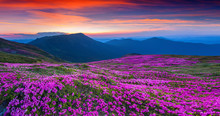 Magic Pink Rhododendron Flowers On Summer Mountain.