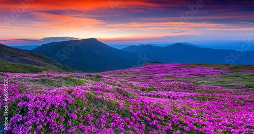 Obraz Magiczny różowy różanecznik kwitnący w górach - fototapety do salonu