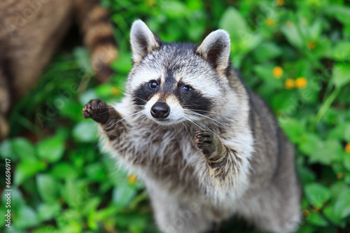 Fotografia The raccoon play standing in the green grass background