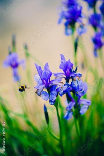 Fototapeta Iris and bee. Shallow depth of field. obraz na płótnie