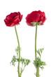 Eustoma flower
