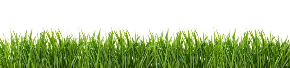 Fototapeta Green grass isolated on white background.